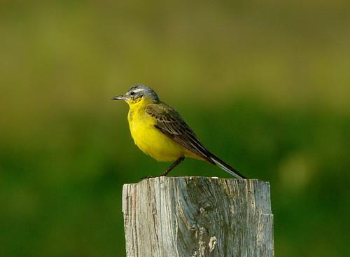 Gulärla / Yellow Wagtail
