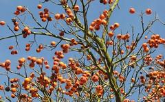 Früchte der Weißdorn-Art crataegus pinnatifida; Lingen, Strootstraße (6) (Chironius) Tags: frucht fruit frutta owoc fruta фрукты frukt meyve buah lingen emsland germany deutschland niedersachsen allemagne alemania germania германия crataegus rosids fabids rosales rosenartige rosaceae rosengewächse rosoideae pyreae kernobstgewächse pyrinae weisdorn