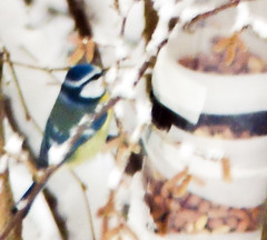 PC122139  Blue Tit  (no: Kjttmeis) (olavagnar) Tags: winter birds norway garden backyard scandinavia bluetit cyanistescaeruleus paridae blmeis digscoping