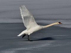 Ice skating is fun..........Explored (l_dewitt) Tags: winter england lake bird water swan pond mute imagesnature imageswild imagesbird swanswanmutewildlifewildlife imagesswan imagesmute imagessoutheastern connecticutconnecticutnew