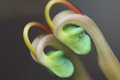 Grevillea dryandri subsp. dryandri (andreas lambrianides) Tags: australian wildflower grevillea australiannativeplant proteaceae australianflora grevilleadryandrisubspdryandri