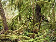 mossy forest (chaerea) Tags: trees tree nature vancouver forest moss bc buntzenlake
