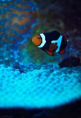 75: symbiosis (Jen MacNeill) Tags: life fish animal aquarium marine colorful pennsylvania pa clownfish anemone photoaday lancaster 365 aquatic symbiotic symbiosis thatfishplace thatpetplace gypsymarestudios jennifermacneilltraylor jmacneilltraylor 2013365photos
