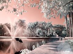 Crandon Park, Key Biscayne, FL (LValdes) Tags: infrared goldie canong3 keybiscaynefl crandonpark irconverted lvaldes