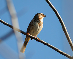 Song Sparrow 2, 03/14/13 (VinCar927) Tags: arizona birds riparianranchatwaterpreserve