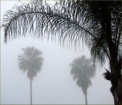 Palms & Fog, Redlands 3-17-13 (inkknife_2000 (6 million views +)) Tags: usa fog palms palmtrees southerncalifornia redlandsca inlandempire dgrahamphoto
