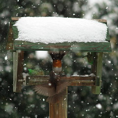 Not welcome! (nikjanssen) Tags: snow robin birds garden roodborst heggemus blinkagain