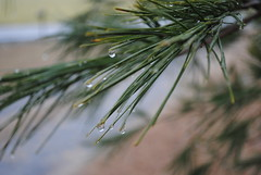 Rainy Day (Lee Cannon) Tags: tree water pine rainyday drop drip droplet delaware raining dripping pineneedle waterdroplet