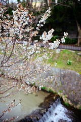 Blossoming over River (Nishi Drew) Tags: color japan 35mm canon spring kyoto sigma    gion 5dii canon5dmarkii sigma35mm14
