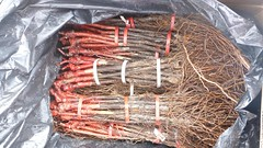 0007VIÑEDOS-plantar-injertos-(22-3-2013)-P1020009 (fotoisiegas) Tags: viticultura viñas viñedos cariñena plantar injertos fotoisiegas lospajeras