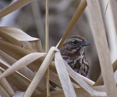 Portrait of a Song Sparrow (Alejandro Erickson) Tags: