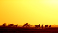 Let this not be the last sunset! (pranav_seth) Tags: sunset india ass wildlife animalplanet gujrat littlerann khur indianwildass equushemionuskhur littlerannofkutchh devjibhaidhamecha ecotourcamp