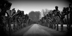 Bonjour Tristesse (SpitMcGee) Tags: germany grau explore netherland avenue allee grenzgebiet kopfweiden spitmcgee gangelterheide