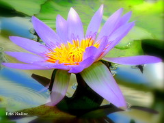 Water Lily (in Explore) (Nadine V.) Tags: flower lumix waterlily ngc panasonic explore bloem waterlelie nymphaeaceae sooc fz38 panasonicdmcfz38 fz35 dmcfz35 dmcfz38 dmc38