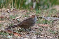 Dasyornithidae - Rufous Bristlebird
