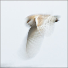 owl (kimbenson45) Tags: brown white bird nature animal evening flying wings flight feathers owl