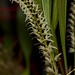 Dendrochilum yuccaefolium – Merle Robboy