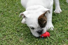 Tuco Ramirez (wonderVani) Tags: dog bull bulldog bulls perro perros englishbulldog ingles bully bulldogs mascota mascotas bulldogingles
