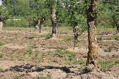 ckuchem-1275 (christine_kuchem) Tags: streuobstwiesenweg streuobstwiese streuobst wiese obstbaum frhling frhjahr blte bltezeit obstbume
