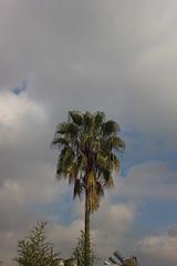 infinito (Barcoborracho) Tags: palmera haedo solitaria cielo nubes t3i cosinamccosinonw35mmf28 exterior sky azulcielo vintagelentes manualfocus infinito f16