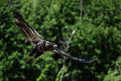 Flight of the Juvenile Eagle (20160719-150318-PJG) (DrgnMastr) Tags: allrightsreserveddrgnmastrpjg pjgergelyallrightsreserved baldeagles eagles juvenileeagle grouptags bravo avianexcellence damniwishidtakenthat naturescarousel sunshinegroup naturesspirit diamondclassphotographer flickrdiamond fb dmslair sacrednature