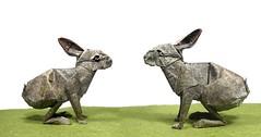 Hare (rabbit) - Ronald Koh (Mariano Zavala B) Tags: rabbit ronald hare conejo koh liebre
