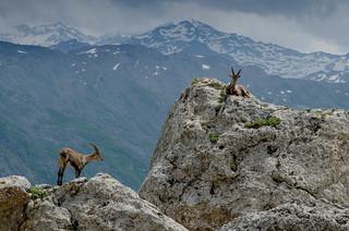 Bouquetin capra ibex
