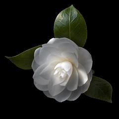 Camellia W (Explore) (Pixel Fusion) Tags: flower macro nature flora nikon camellia d7000