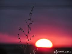 Avena ante el ocaso (Esmerejon) Tags: puestasdesol ocasos avenasilvestre solrojo