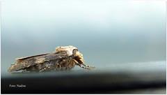 Madame Butterfly Incognito ;-) - Explored (Nadine V.) Tags: mot moth nachtvlinder lepidoptera lepidopterans fz38 lumix panasonic panasonicdmcfz38 papillon explore