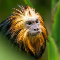 DSC_5141-1 (craigchaddock) Tags: cilantro zoe goldenheadedliontamarin leontopithecuschrysomelas parkeraviary sandiegozoo endangeredspecies newworldmonkey monkey tamarin goldenheadedtamarin