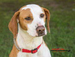 Ruby (Rainfire Photography) Tags: rainfirephotography dog pup cute hound rescue shelter speakingofdogsrescue adopt sweet