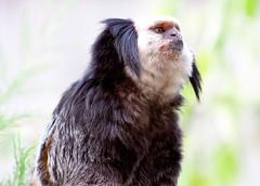 Geoffroy's Tufted Earred Marmoset (hplarc78) Tags: colchester zoo geofforys marmoset geoffroys tufted earred whiteheaded geoffreys tuftedear colchesterzoo geofforysmarmoset geoffroystuftedearredmarmoset whiteheadedmarmoset geoffreysmarmoset tuftedearmarmoset