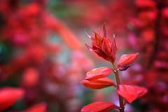 shine (asenDM) Tags: flower red garden plant shine