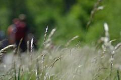 Wind in the grass (-Kj.) Tags: dunearea naturalreserve northholland castricum coast dunes hike summer grass straw movement hiker