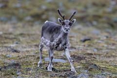 Svalbard Reindeer at Bjrndalen S24A0658 (grebberg) Tags: bjrndalen spitsbergen svalbard july 2016 mammal bovid reindeer svalbardreindeer rangifer rangifertarandus rangifertarandusplatyrhynchus