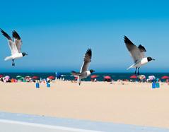 Three Black Headed Seagulls (webenny1) Tags: blackheadedseagulls unitedstates maryland oceancity oceancitymaryland oceancityboardwalk boardwalks beaches beach ocean oceanfront beachfront coast coastline atlanticocean seagulls