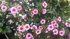 Hibiscus Back Yard (mrrobertwade (wadey)) Tags: wadeyphotos mrrobertwade rossendale robertwade lancashire haslingden milltown