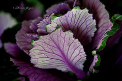 Shy 0206 Copyrighted (Tjerger) Tags: nature black blackbackground flora green leaves plant portrait purple shy white winter wisconsin kale