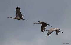 Sandhill Cranes (Sue D Sharpe) Tags: sandhillcranes cranes adults juvenile flight inflight portrowan longpointprovincialpark longpoint ontario canada
