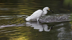 A little dinner (In Explore 8.19.16) (Jodi Newell) Tags: ca calif california canon dinner eating fish irvine jodinewell jodisjourneys jodisjourneysphotosgmailcom marsh meal nature sanjoaquin sanctuary snowyegret water wildlife