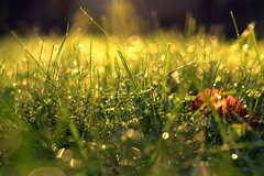 life is messy (joy.jordan) Tags: grass waterdrops light sunset bokeh backyard