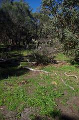 achenalia reflexa, Yellagonga Regional Park, Joondalup, Perth, WA, 02/08/16 (Russell Cumming) Tags: plant weed lachenalia lachenaliareflexa asparagaceae yellagongaregionalpark joondalup perth westernaustralia