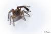 saltique-jardin (Franchini-Photos) Tags: saltique landes araignée oeils