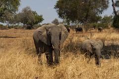 Zambia_LionCamp_164_elephant (atkiteach) Tags: zambia southluangwanationalpark southluangwa safari safaricamp camp nature naturereserve holiday rural africa lioncamp elephants elephant elephantcalf calf