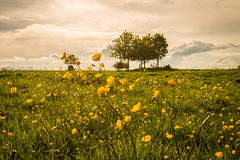 Meadow (Caterix) Tags: natural lighting buttercups nature meadow greatbritain orange pinksky nostalgia britain uk tree lateafternoon pink alone lowangleofview england green naturallight yellow rustic field