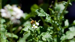 Just sit still! (Warpstar Photography) Tags: bee bees insects insect bokeh 50mm garden plants plant weeds nature bugs green
