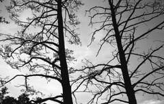 Trees (Nils Kristofer Gustafsson) Tags: blackandwhite bnw ishootfilm retro rollei 400s lomo lomography sweden rebro keepfilmalive filmisnotdead filmphotography film rodina adonal yashica electro cc