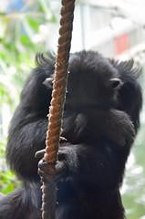 Chimpanzee (Laura.Kerr) Tags: chimpanzee primate ape edinburghzoo pantroglodytes chimp