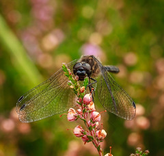 enchanted by heather (Superali007) Tags: dragonfly bokeh heather dof canon canon7d ef100mmf28lisusmmacro macro llens nature